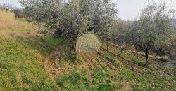 ISTRIA – OLIVE GROVE NEAR BRTONIGLA