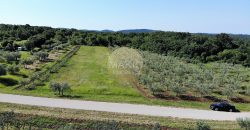 ISTRIA – OLIVE GROVE WITH ABOUT 120 OLD OLIVE TREES – NEAR BUILDING AREA
